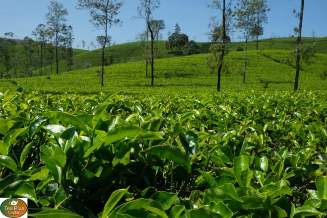 tea plantation central Sri Lanka 1500x1000